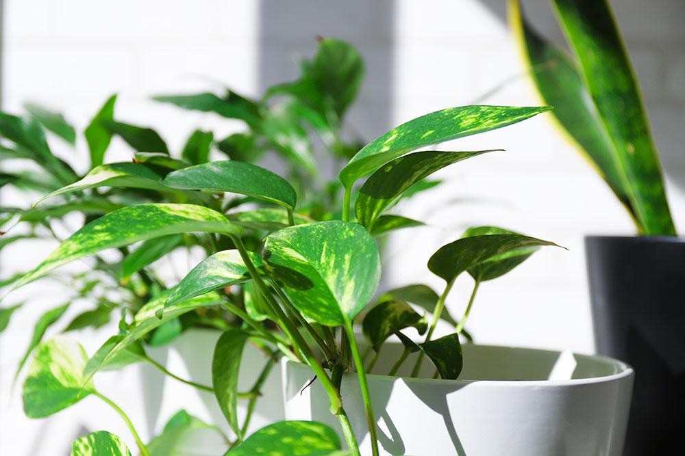 レンタルグリーン(観葉植物)